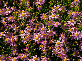 'American Dream' Pink Coreopsis