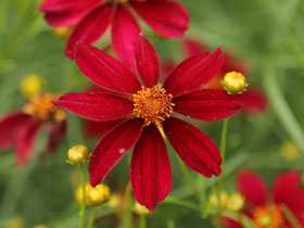 'Red Satin' Hardy Threadleaf Coreopsis