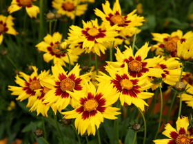 'Sunkiss' Broadleaf Coreopsis