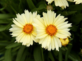UpTick™ 'Cream' Broadleaf Coreopsis