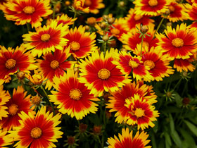 UpTick™ 'Gold & Bronze' Broadleaf Coreopsis
