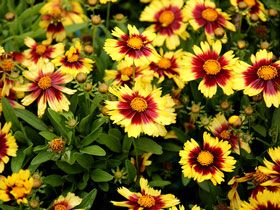 UpTick™ 'Yellow & Red' Broadleaf Coreopsis