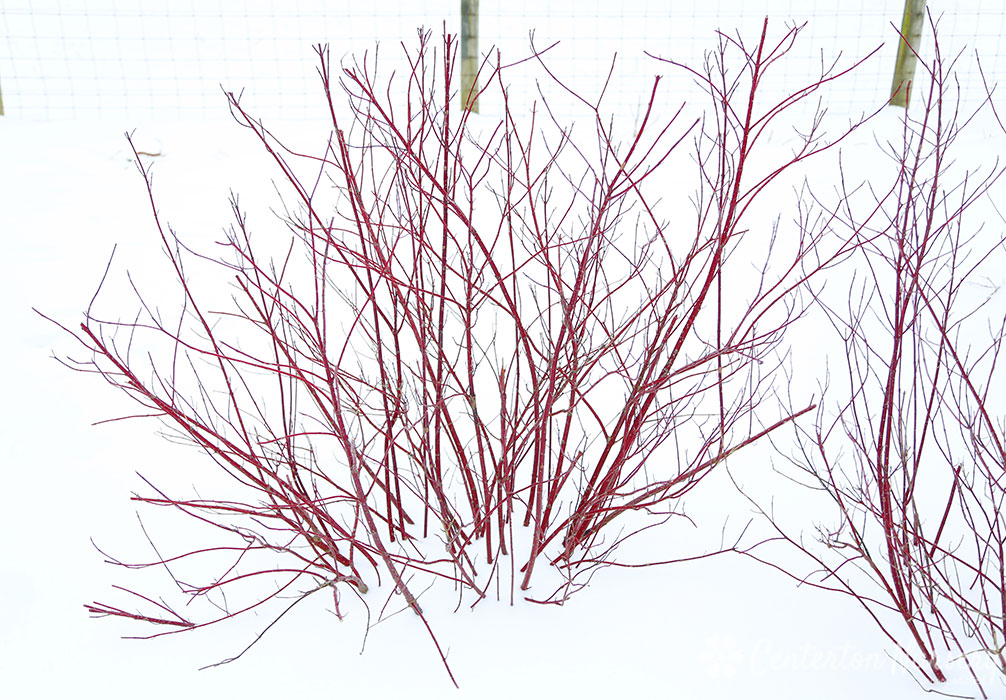 Variegated Dwarf Red Twig Dogwood