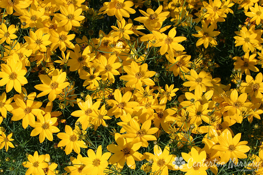 'Zagreb' Gold Threadleaf Coreopsis
