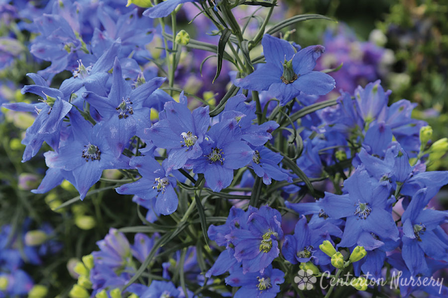 'Blue Butterfly' Larkspur