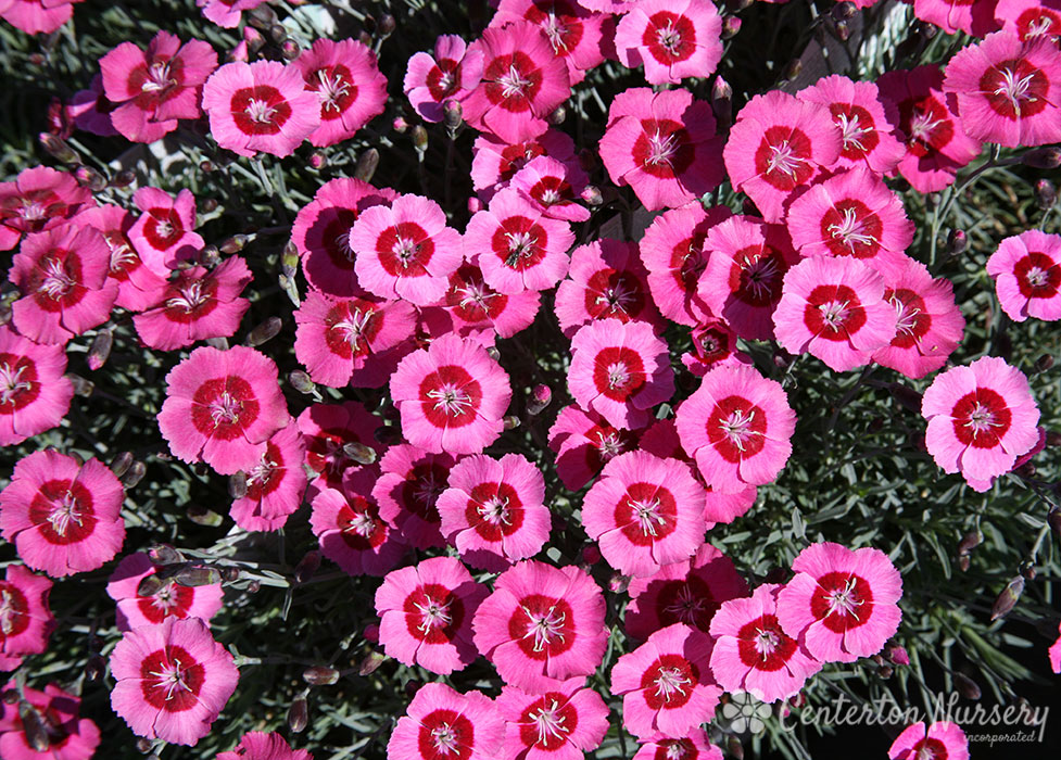 'Peppermint Star' Reblooming Dianthus