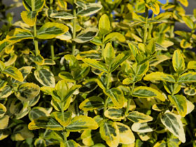 'Emerald 'n Gold' Variegated Spreading Euonymus