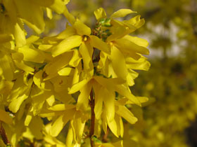 'Lynwood Gold' Forsythia