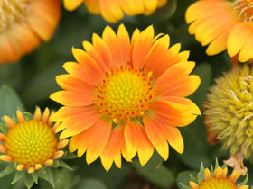 'Arizona Apricot' Blanket Flower