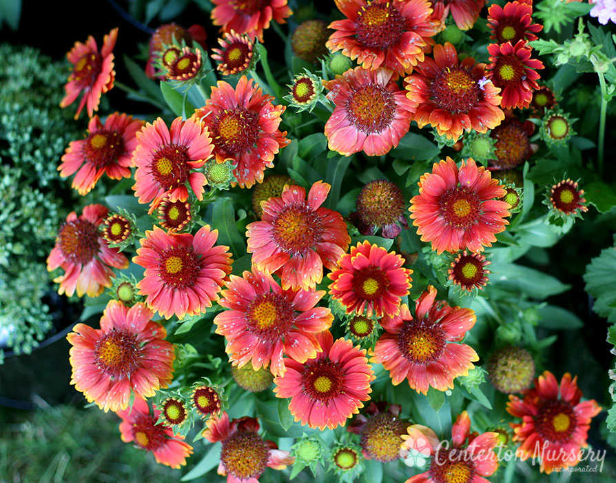 'Arizona Red Shades' Blanket Flower