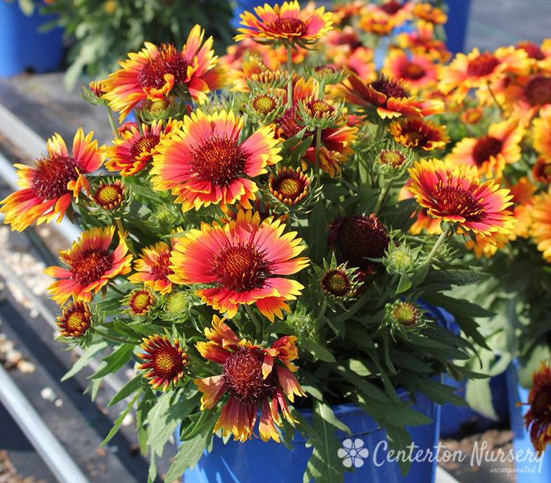 'Arizona Sun' Blanket Flower