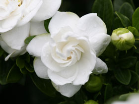 'Crown Jewel' Hardy Gardenia