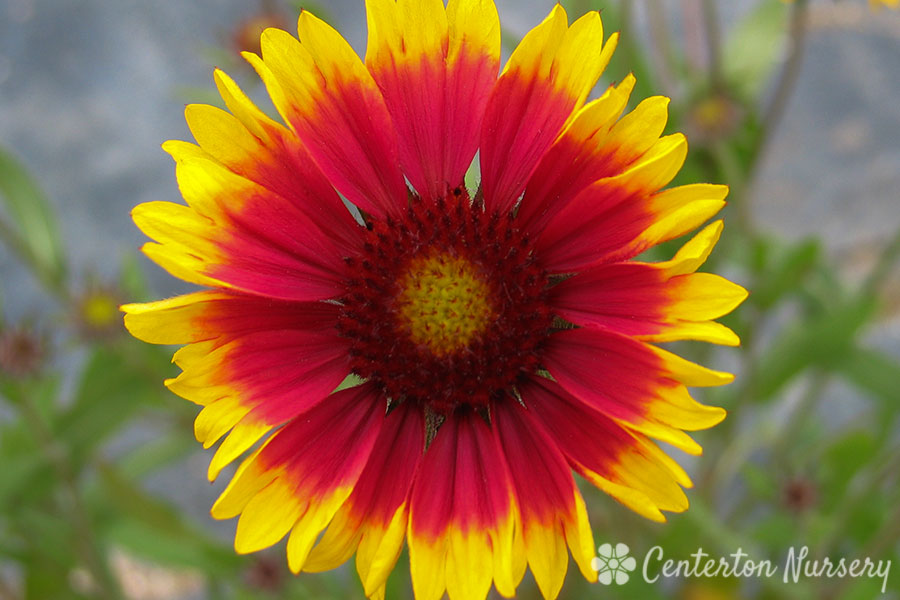 'Goblin' Blanket Flower