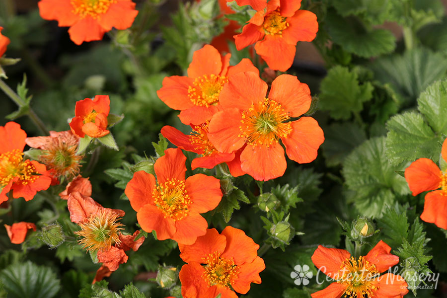 'Cooky' Avens