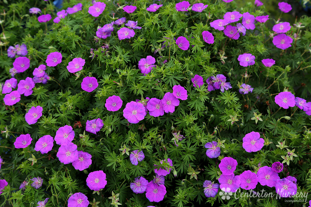 Spiked Punch™ Hardy Geranium