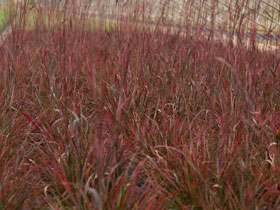 'Red October' Big Bluestem Grass