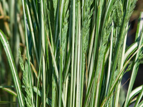 'Avalanche' Variegated Feather Reed Grass