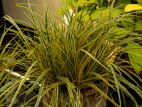 'Everglow' Sedge Grass