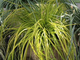 'Everillo' Sedge Grass