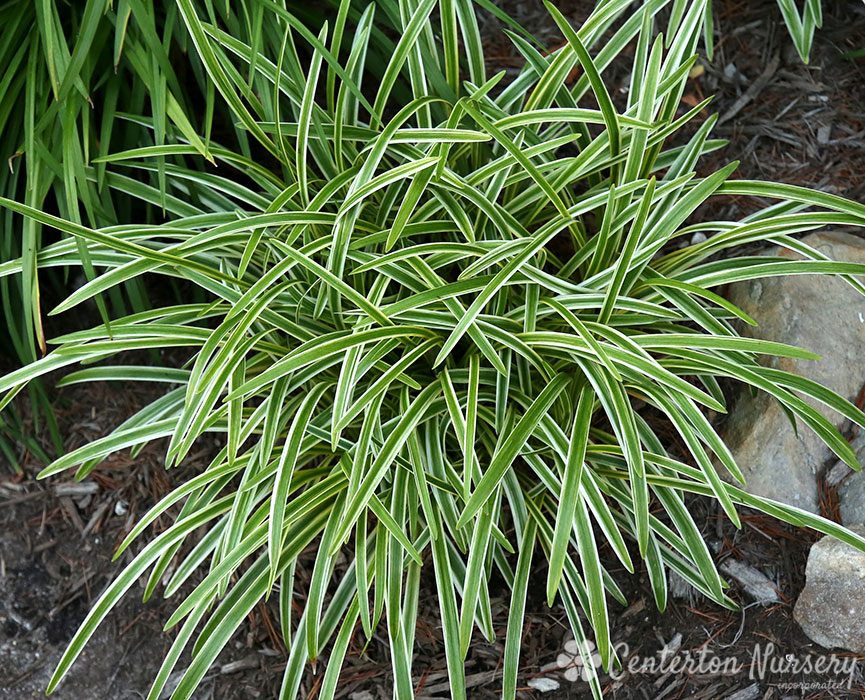 Variegated Lily Turf Grass