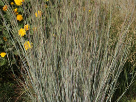 'Standing Ovation' Little Bluestem