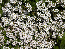 'Pixie Splash' Groundcover Baby's Breath
