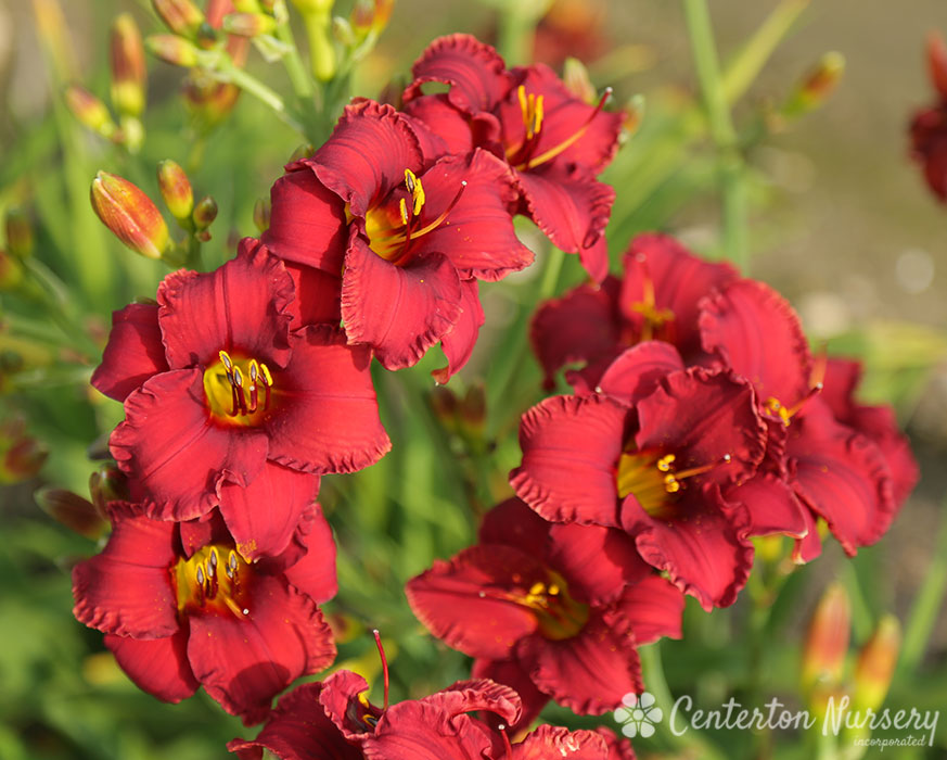 'Blazing Returns' Reblooming Daylily