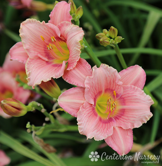 'Happy Enchantment' Reblooming Daylily