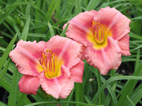 'Rosy Returns' Reblooming Daylily