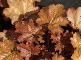 'Carnival Coffee Bean' Coral Bells