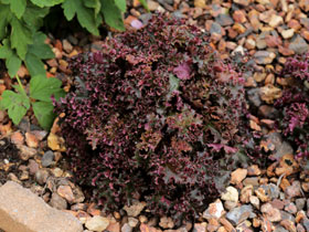 'Crimson Curls' Coral Bells