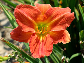 'Red Rum' Daylily