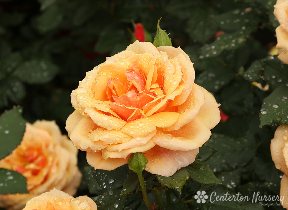 'About Face' Hybrid-Tea Rose