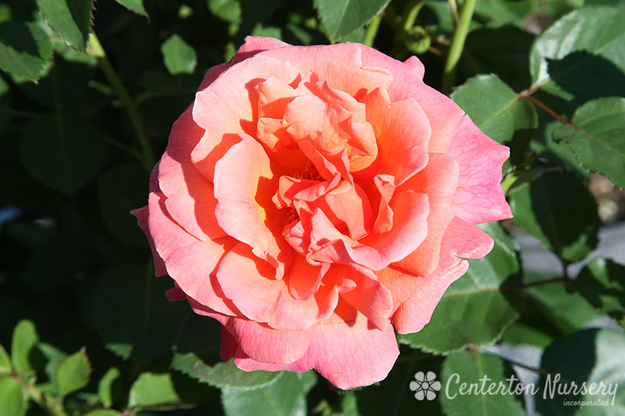 'Easy Does It' Floribunda Rose