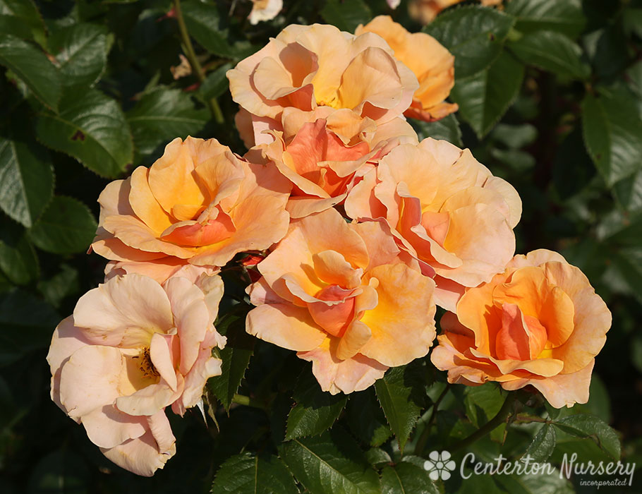 'Honey Nectar' Hybrid-Tea Rose