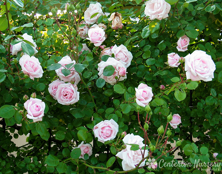 'New Dawn' Climbing Rose