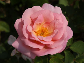 Peachy Knock Out<sup>®</sup> Rose