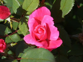 Pink Knock Out<sup>®</sup> Rose