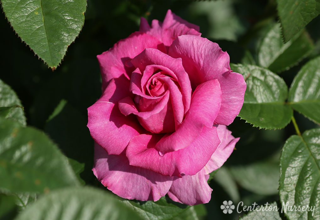 'Pretty Lady Rose' Hybrid-Tea Rose