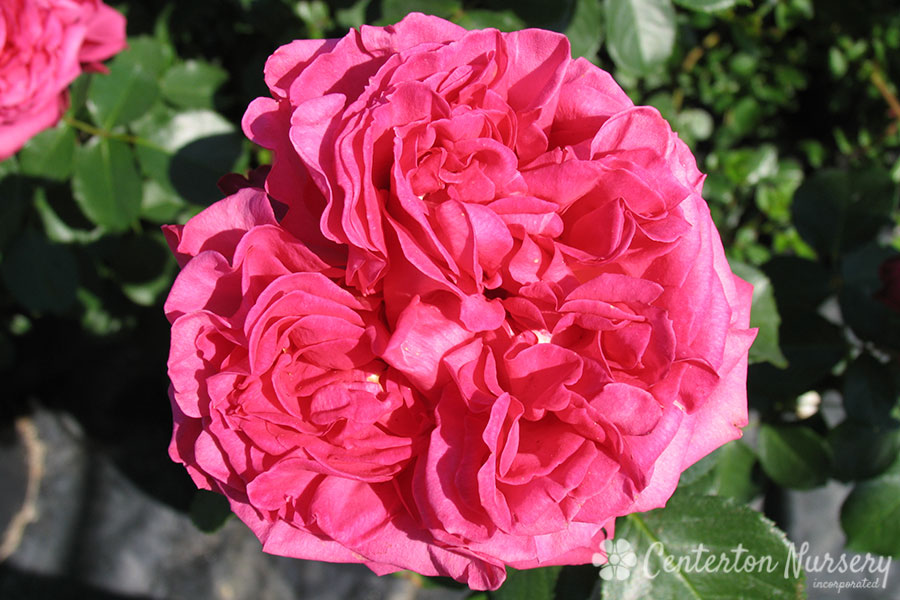 'Pink Traviata' Hybrid-Tea Rose