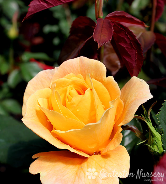 'Strike It Rich' Hybrid-Tea Rose
