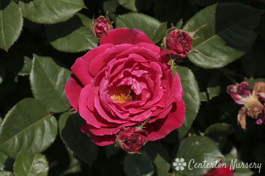 Sweet Spirit™ Grandiflora Rose
