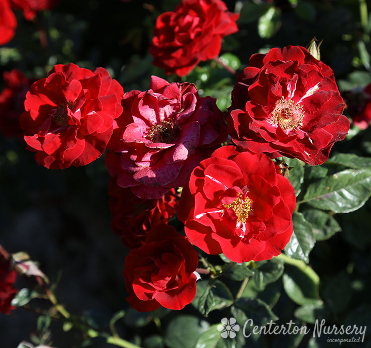 'Thrive' Shrub Rose
