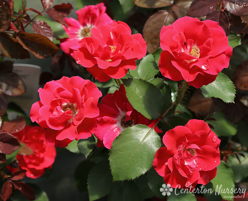 'Take It Easy' Hybrid-Tea Rose