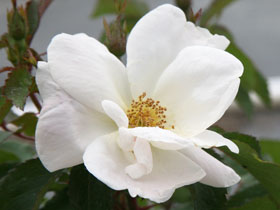 White Knock Out<sup>®</sup> Rose