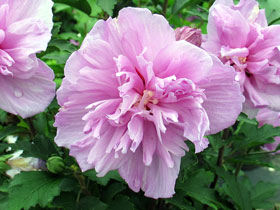 Double Purple Rose of Sharon