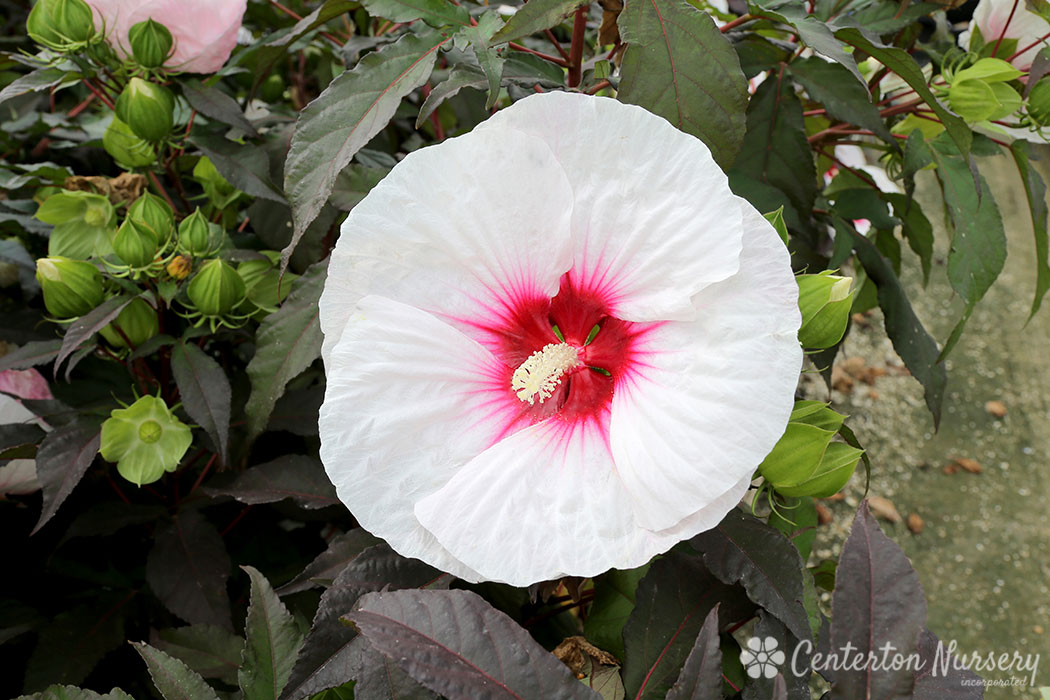 Mocha Moon Herbaceous Hardy Hibiscus