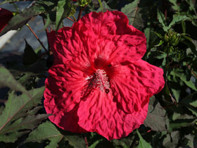 'Plum Fantasy' Herbaceous Hardy Hibiscus