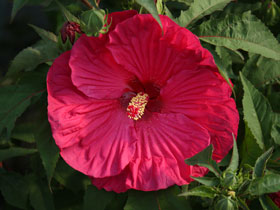 'Summer in Paradise' Herbaceous Hardy Hibiscus