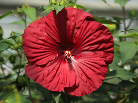 'Vintage Wine' Herbaceous Hardy Hibiscus
